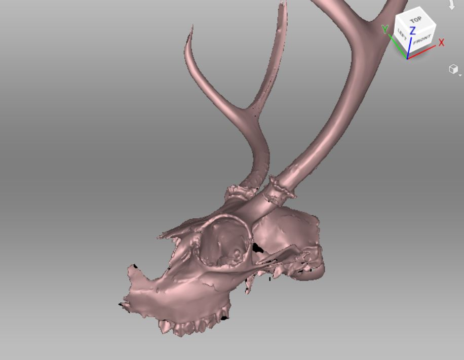 Structured light scan of deer skull for Paleontology by southwest scanning, New Mexico.